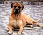 Bullmastiff inscritos $ 650.000