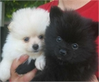 mini toy cachorros de pomerania
