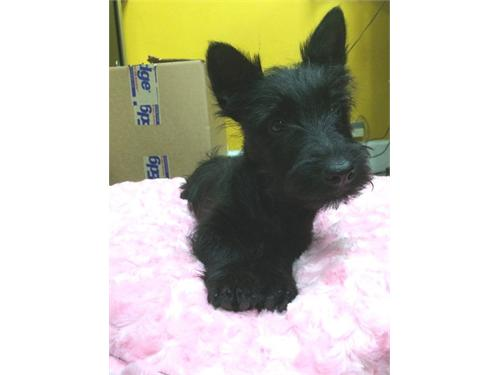 AKC Scottish Terrier Pups