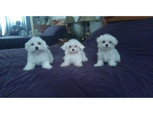 CKC Maltese Puppies
