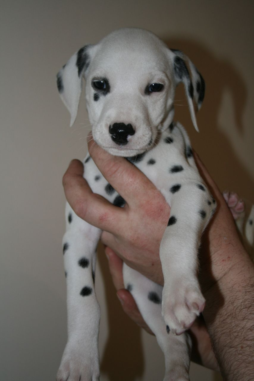 Cachorros Dalmation Ready