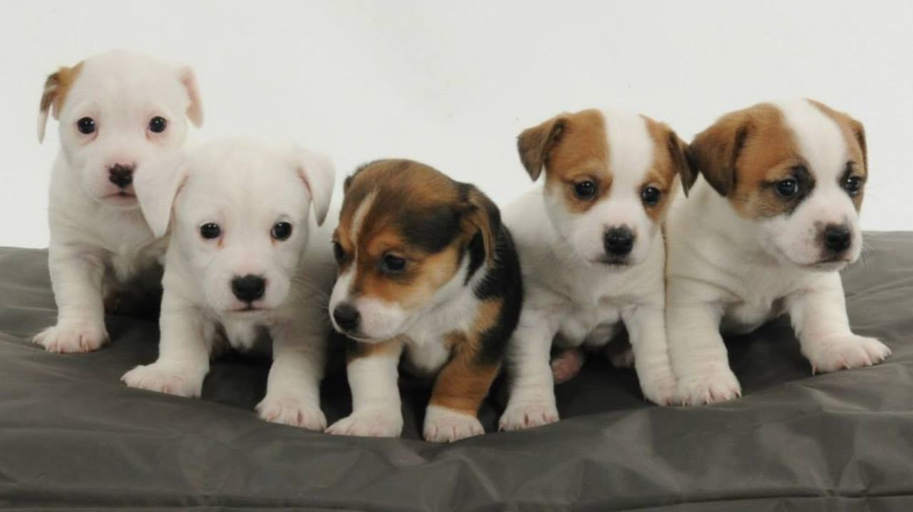 Cachorros Jack Russell