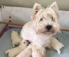 Perros West highland white terrier