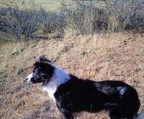 Criaderos Border collie chile
