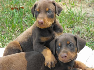 CAMADA DE DOBERMAN DE ENSUE�O