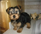 Dulces yorkshire terrier cachorros