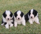 Camada Border Collie 21/05/2015