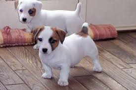 Dos Jack Russell Pups