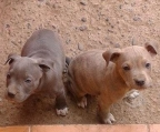 Cachorros American Pit Bull Terrier