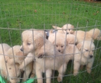 Perros Golden Retriever pedigree