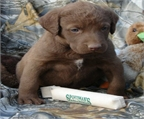 Chesapeake Bay Retriever Venda