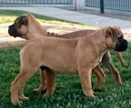 2 Machos Bullmastiff
