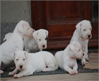 Lindos cachorritos de dogo argentino disponibles