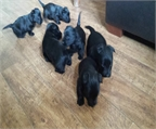 Los cachorros Scottish Terrier, Kc Registrado
