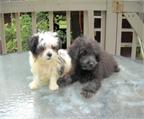 Perros raza akita japones venta