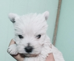 Ultima Hembra West highland Terrier