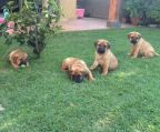 Hembras inscritas Bullmastiff 500.000