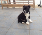 Macho staffordshire Bull Terrier inscrito
