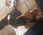 Cachorritos beagle Fono whatsapp y venta +56958988850