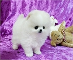 Perritos de Pomeranian Disponible gratis