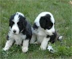 BEARDED COLLIE CACHORROS