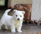 West highland Terrier Hembra Inscrita 375.000