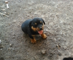 Perros Rottweilers Chile