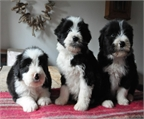 Cachorros collie barbudo
