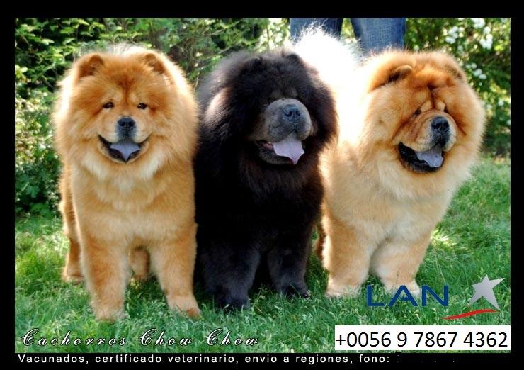 perros chow chow en chile venta de chow chow en chile cachorros chau chau en chile cachorros. Black Bedroom Furniture Sets. Home Design Ideas