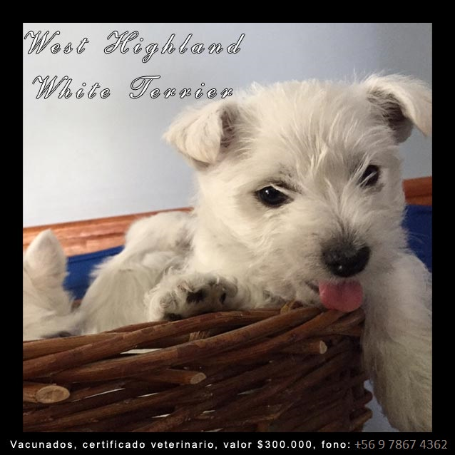 Cachorros West highland white terrier en venta en Chile